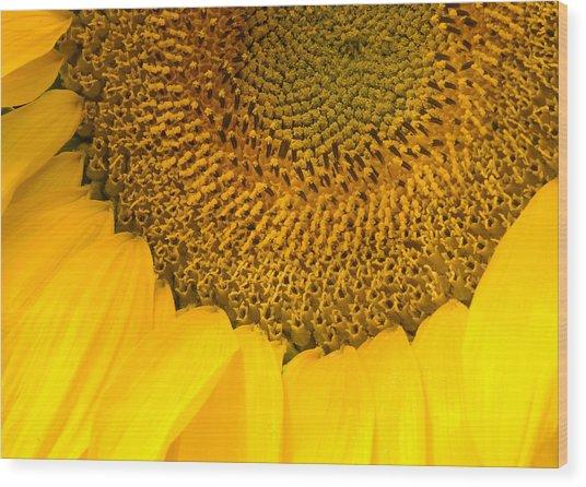 Sunflower Wood Print by Charlie Hunt