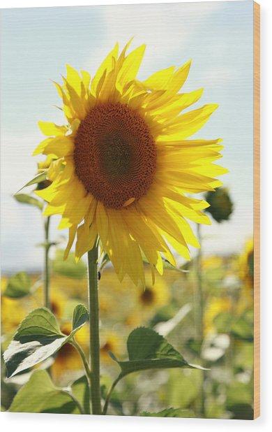 Sunflower Wood Print by Falko Follert