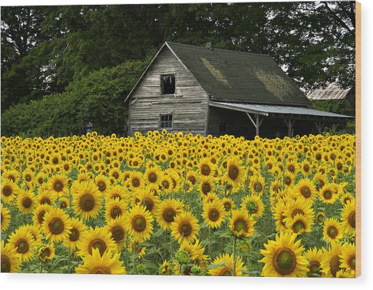 Sunflower Field And Barn Wood Print by Tom  Wray