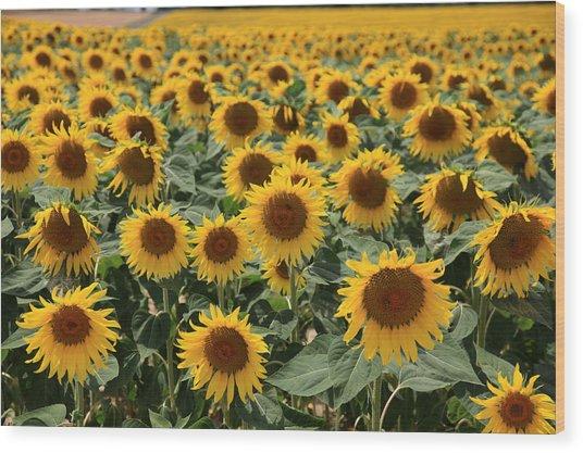 Sunflower Field France Wood Print by Pauline Cutler