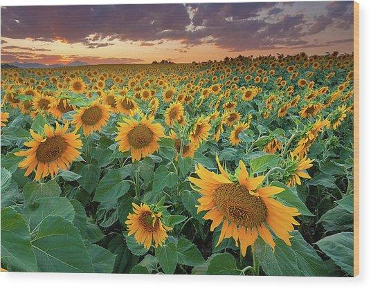 Sunflower Field In Longmont, Colorado Wood Print