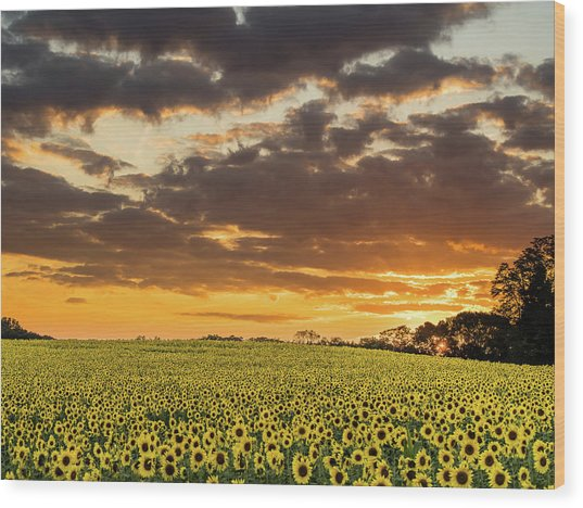 Sunflower Fields Sunset Wood Print