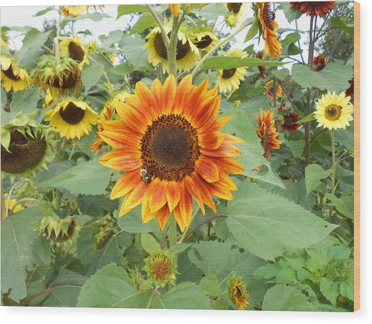 Sunflower Garden Wood Print