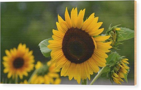 Sunflower Group Wood Print