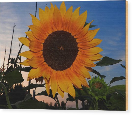 Sunflower In The Evening Wood Print