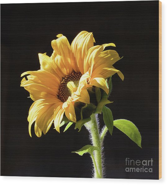 Sunflower Isloated On Black Wood Print