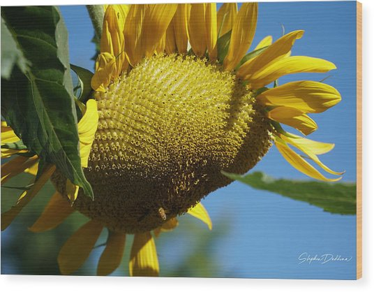 Sunflower, Mammoth With Bees Wood Print
