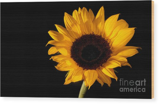 Sunflower Wood Print by Michael Herb