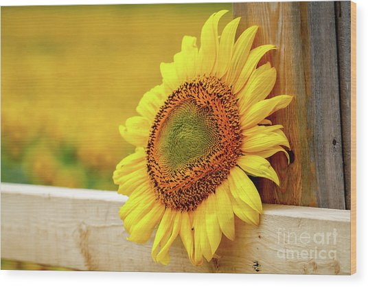 Sunflower On The Fence Wood Print