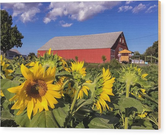 Sunflower Red Barn Wood Print
