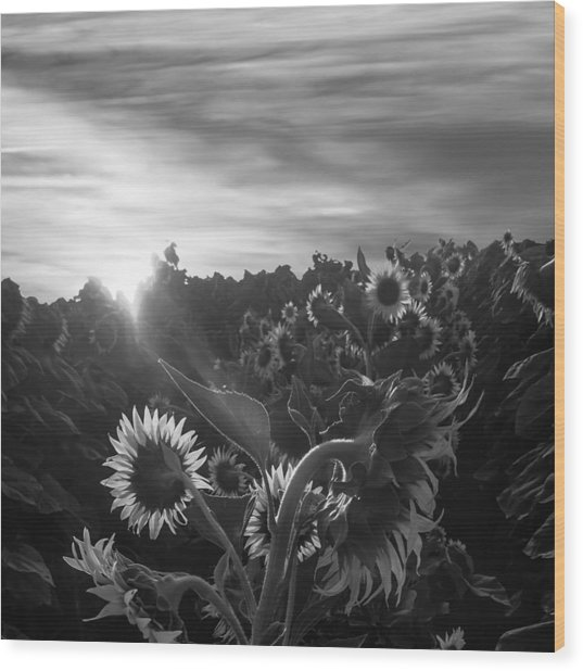 Sunflower Rise In Black And White Wood Print