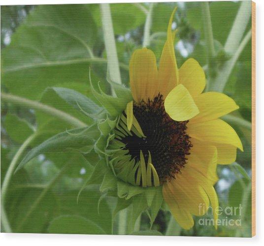 Sunflower Rising Wood Print
