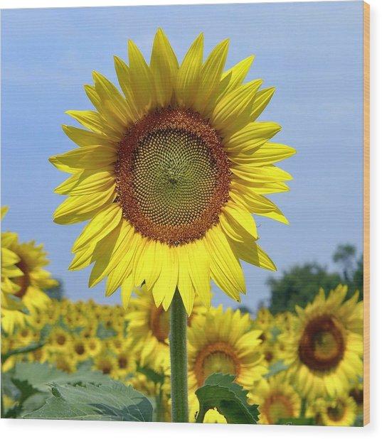 Wood Print featuring the photograph Sunflower by Ryan Shapiro