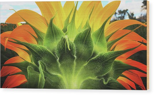 Sunflower Sunburst Wood Print