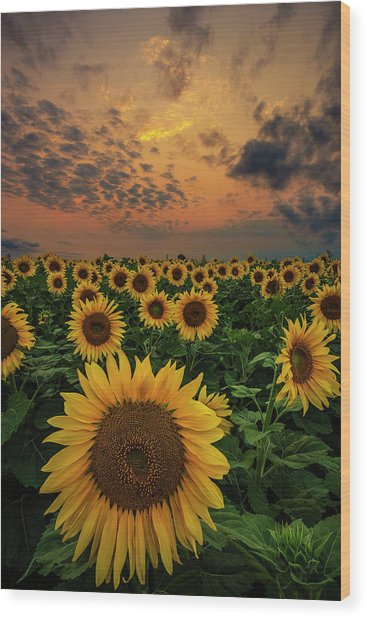Sunflower Sunset  Wood Print