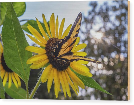 Sunflower Swallowtail Wood Print