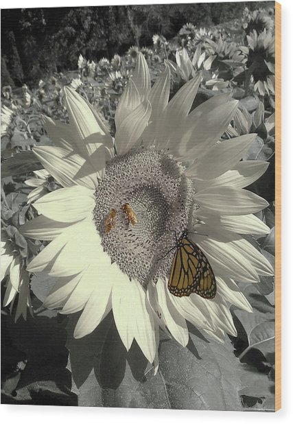 Sunflower Tint Wood Print
