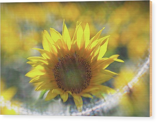 Sunflower With Lens Flare Wood Print