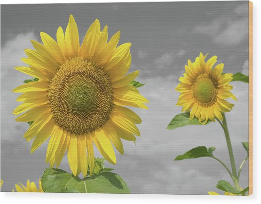 Sunflowers V Wood Print