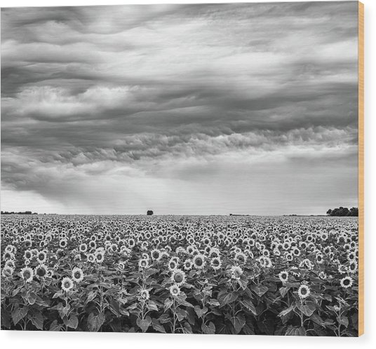 Sunflowers And Rain Showers Wood Print