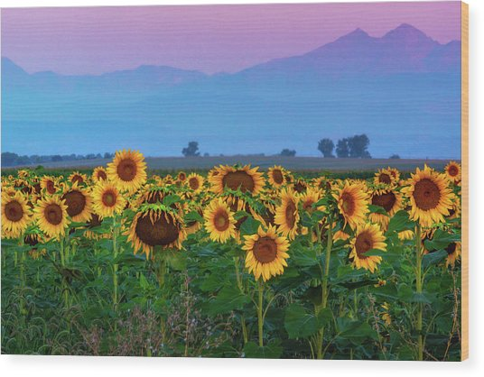 Sunflowers At Dawn Wood Print