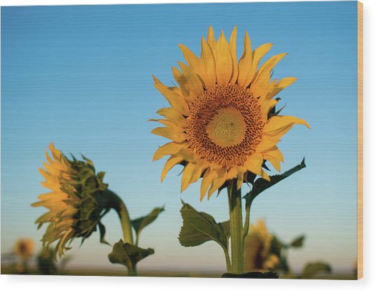 Sunflowers At Sunrise 1 Wood Print