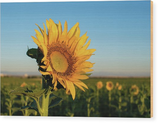 Sunflowers At Sunrise 2 Wood Print