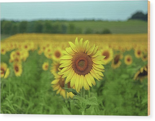 Sunflowers Wood Print by Brooke T Ryan