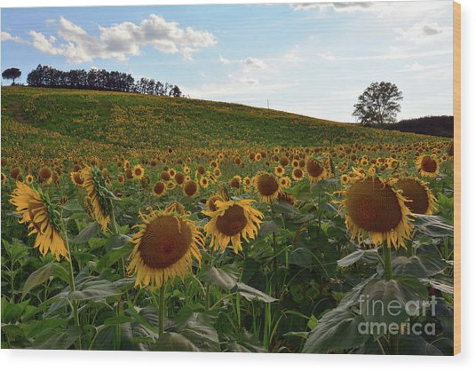 Sunflowers Fields  Wood Print