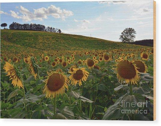 Sunflowers Fields  Wood Print
