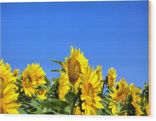 Sunflowers Wood Print by Gary Smith