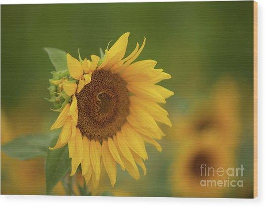 Sunflowers In Field Wood Print