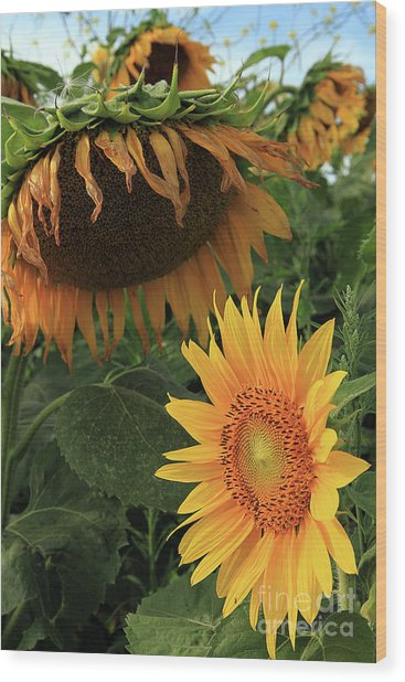 Sunflowers Past And Present Wood Print