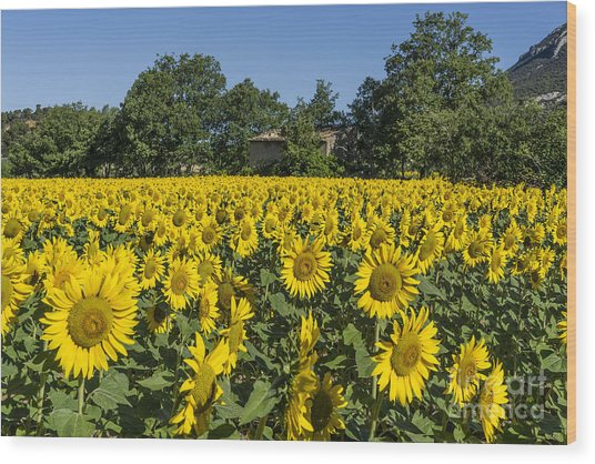 Wood Print featuring the photograph Sunflowers Provence  by Juergen Held