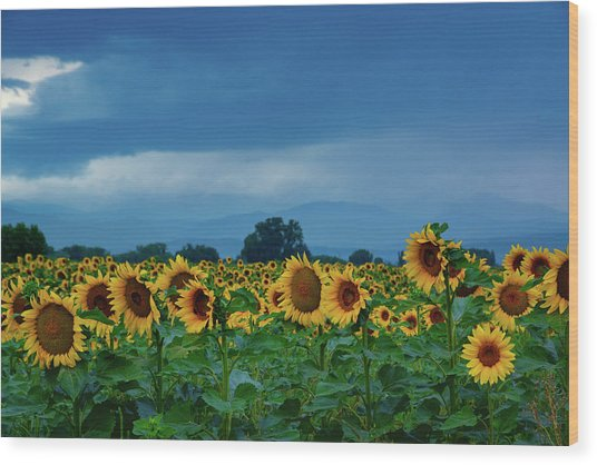 Sunflowers Under A Stormy Sky Wood Print