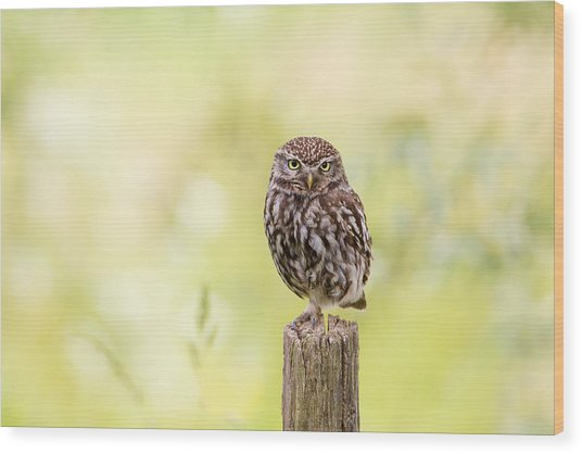Sunken In Thoughts - Staring Little Owl Wood Print