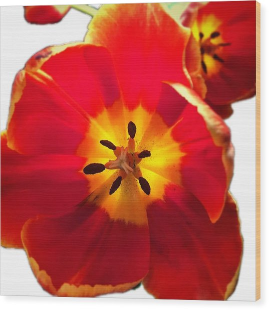 Sunkissed Tulips Wood Print