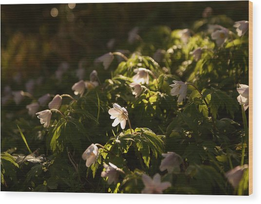 Sunlight Filtering Through The Trees Onto The Daisies. Wood Print