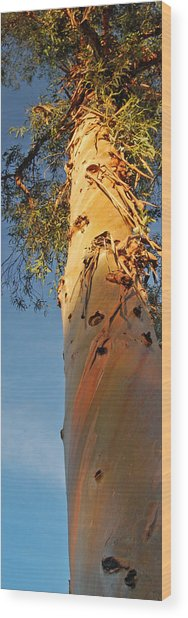 Sunlit Eucalyptus Wood Print by Jean Booth