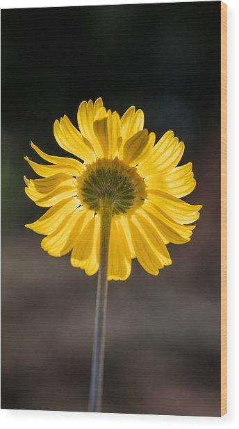 Sunlit Four-nerve Daisy  Wood Print