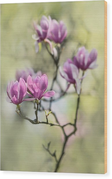 Sunny Impression With Pink Magnolias Wood Print