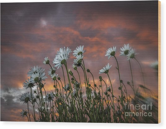 Sunset And Daisies Wood Print
