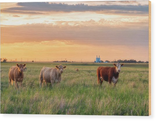 Sunset Cattle Wood Print