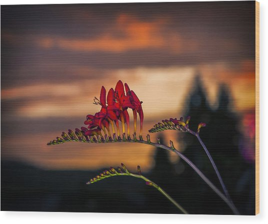 Sunset Crocosmia Wood Print