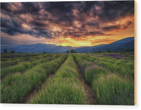 Sunset Over Lavender Field  Wood Print