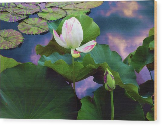Sunset Pond Lotus Wood Print