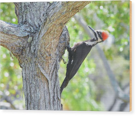 Surprised By Pileated Wood Print