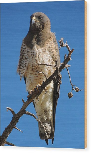 Swainson's Hawk Wood Print