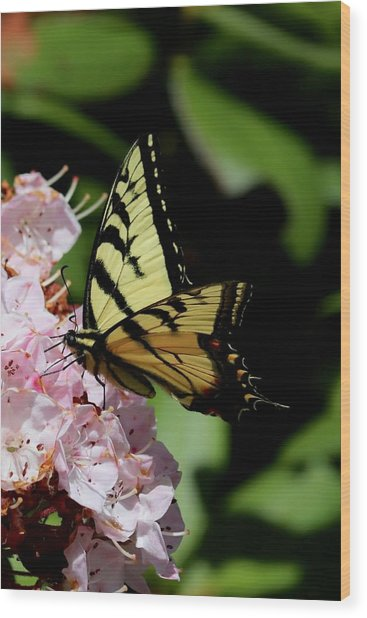 Swallow Tail On Mountain Laurel Wood Print