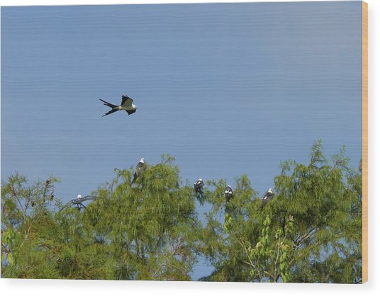 Swallow-tailed Kite Flyover Wood Print
